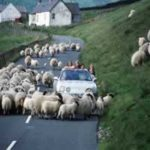 Ireland Driving sheep 150x150 - Ireland Golf Tour: How much will it cost?
